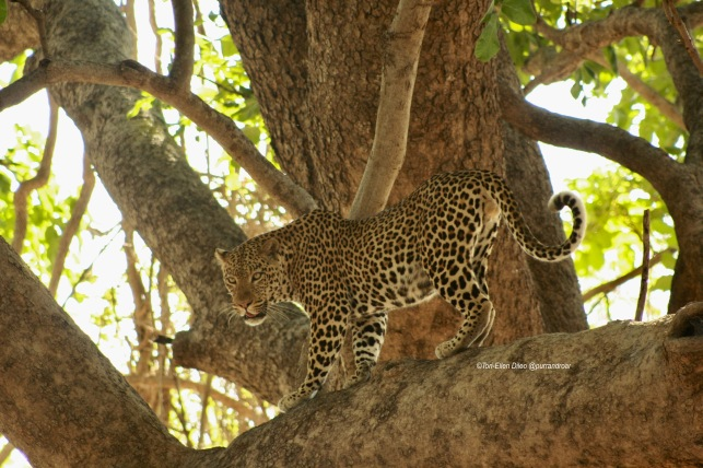 How the Leopard got its spots, Zambia, Africa, Leopards, spots, spotted cats, big cats, wildlife, cool facts about cats, panthera pardus, dappled cats, travel, safari