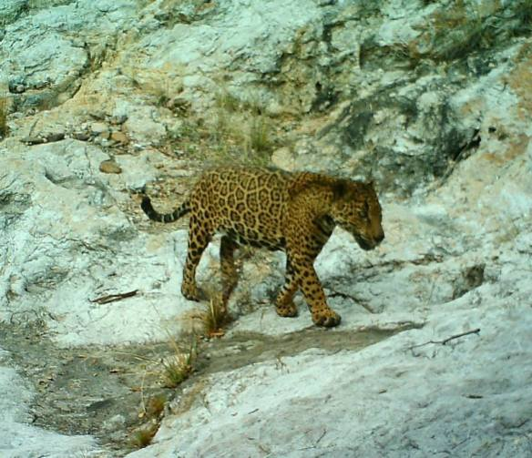 Jaguar, El Jefe, Arizona, Santa Rita Mountains, wildlife, conservations, big cats, Rosemont Mine,