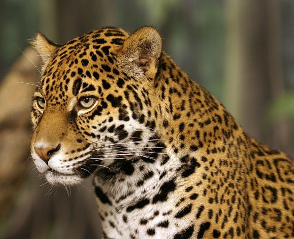 Jaguars, big cats, wildlife, conservation, Nicaragua, Canal, biodiversity, environmental disaster, endangered species, Extinctions,