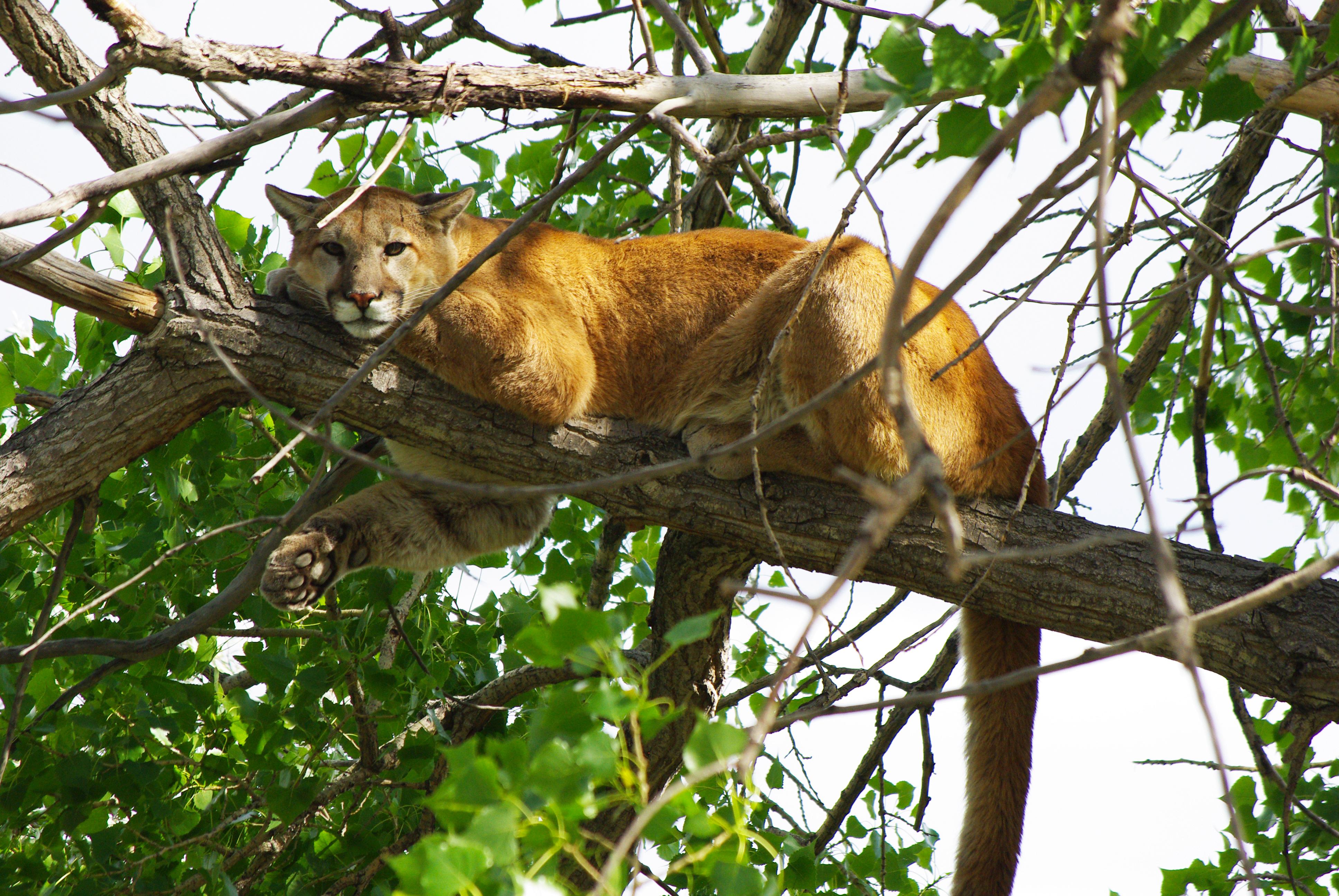 Mountain Lions, Colorado, big cats, wildlife, conservation, biodiversity, Extinctions, predator killings