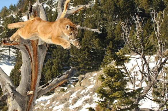 Mountain Lions, Colorado, big cats, wildlife, conservation, biodiversity, Extinctions,