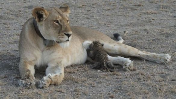 Tanzania, Lions, Leopards, wildlife, conservation, Safari, Travel, ethical tourism, never seen before, Africa, Endangered Species