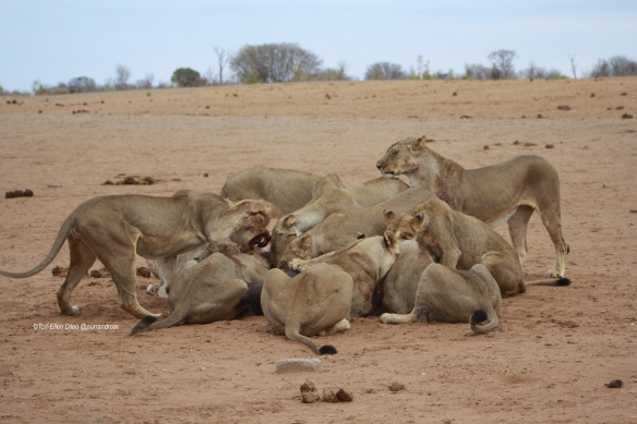 Lions, World Lion Day, ethical tourism, travel, Africa, Hwange National Park, Zimbabwe, endangered species, wildlife photography
