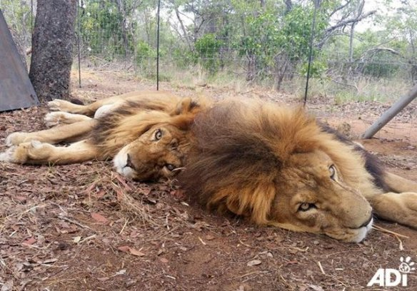 Lion Ark, lions, circus lions, big cats, animal rescue, documentary, Animal Defenders International, ADI, Bolivia, ban on circus animals, captivity, poaching, South Africa, Lion bone trade,Emoya Big Cat Sanctuary