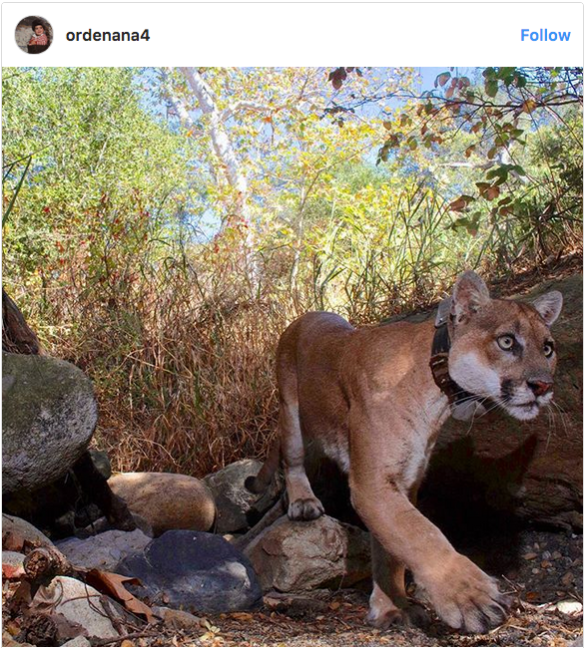 Miguel Ordenana, Instagram, @Ordenana4, P-22, Mountain Lions, Los Angeles, LA, Hollywood hills cougar, Save LA Cougars, Wildlife Crossing, Urban Wildlife, Griffith Park, Living with Wildlife,