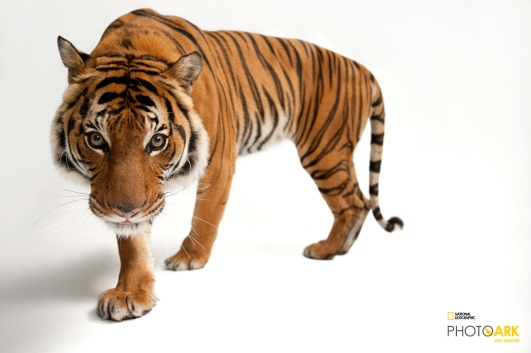 Photo Ark, #SaveTogether, National Geographic Photo Ark, Joel Sartore, Wildlife Conservation, Wildlife Photography, ROMSpeaks, Wildcats, Be their Voice