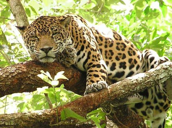 Jaguars, Chaco, Paraguay, Gran Chaco, South America, habitat loss, endangered species, big cats, livestock wildlife conflict