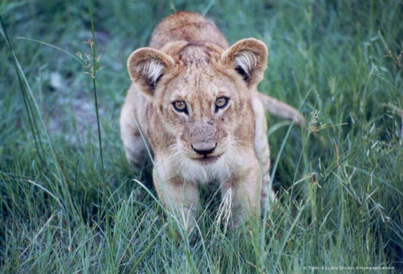 Lions, wildcats, wildlife, wildlife photography, conservation,travel, safari, Botswana