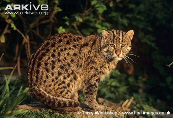 Fishing Cat, Prionailurus viverrinus,Small Cats, Wildcats, Asia, Southeast Asia, endangered species, wetland species, water cats, mangroves, Sri Lanka, Bangladesh, Thailand, aquaculture, shirmp farming, wetland loss, mangroves, swamp cats