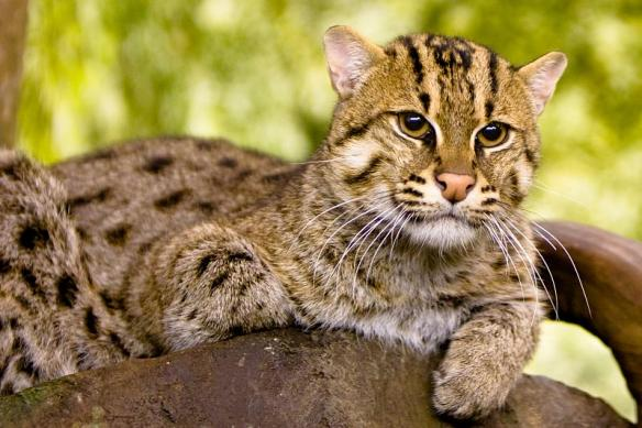 Fishing Cat, Prionailurus viverrinus,Small Cats, Wildcats, Asia, Southeast Asia, endangered species, wetland species, water cats, mangroves, Sri Lanka, Bangladesh, Thailand, aquaculture, shirmp farming, wetland loss, mangroves, swamp cats,