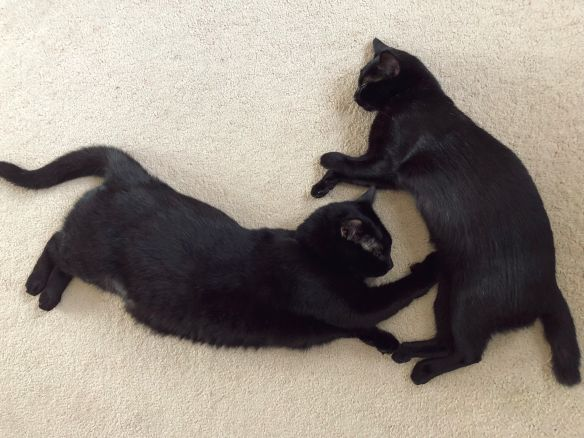 Black Cats, Adopt don't shop, Cats are family