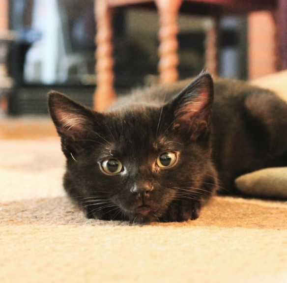 Black Cats, Adopt don't shop, Cats as family