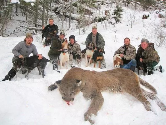 Bristish Columbia, BC, wildlife, wolves, mountain lions, cougars, wildlife kiling contests