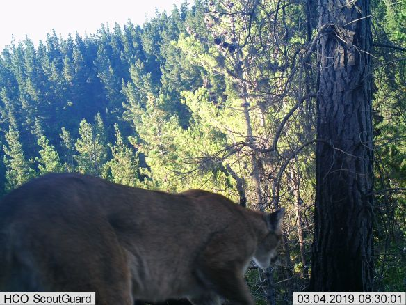 Pumas, Chile, Conservation, Central Chile, Proyecto Carnivoros Australes, mountain lions, Puma concolor,
