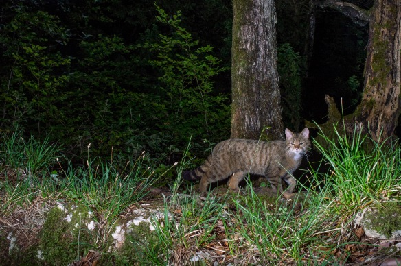 Lars Begert, Wildlife photography, Camera Trapping, Switzerland, Jura Mountains, Wildcat Monitoring Switzerland, Europen Wild Cat, Iberian Lynx, Bobcats, conservation