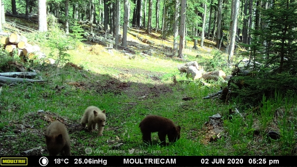 Vivs_Insties, baby bears, black bears, Wildlife photography, Canadian Wildlife, The wild west, Alberta, Camera trapping