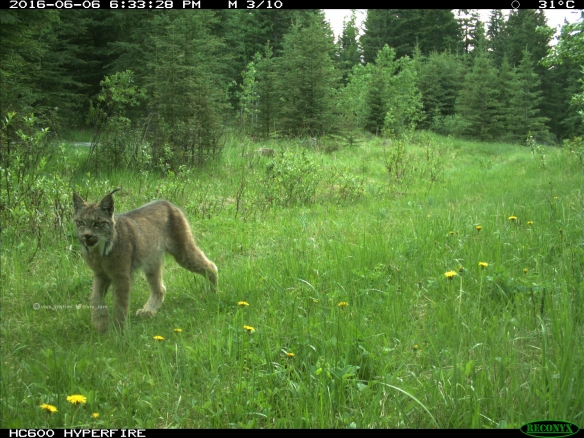 Vivs_Insties, Canada Lynx, Wildlife photography, Canadian Wildlife, The wild west, Alberta, Camera trapping