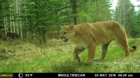 Vivs_Insties, Cougars, Mounatin lions, Wildlife photography, Canadian Wildlife, The wild west, Alberta, Camera trapping, stray dogs