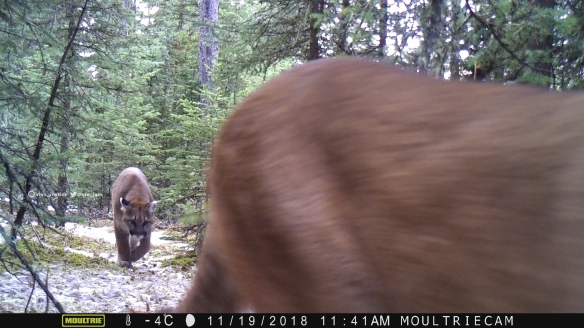 Vivs_Insties, Cougars, Mounatin lions, Wildlife photography, Canadian Wildlife, The wild west, Alberta, Camera trapping