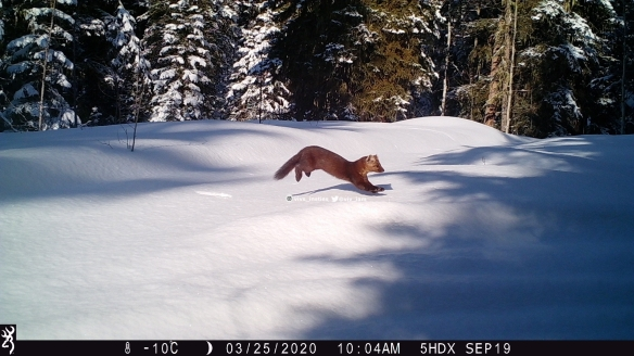 Vivs_Insties, pine marten, Wildlife photography, Canadian Wildlife, The wild west, Alberta, Camera trapping, animal behavior